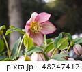 クリスマスローズ 花 キンポウゲ科の写真 48247412