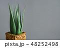 アロエベラ 観葉植物 植物の写真 48252498