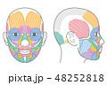 顔 筋肉 図のイラスト 48252818