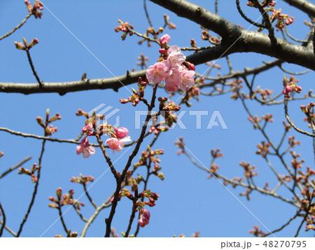 咲き始めた稲毛海岸駅前カワヅザクラ 48270795