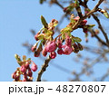 河津桜 蕾 ピンク色の写真 48270807
