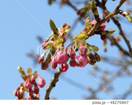 もうすぐ咲く稲毛海岸駅前カワヅザクラ 48270807