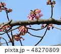河津桜 蕾 ピンク色の写真 48270809