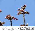 もうすぐ咲く稲毛海岸駅前カワヅザクラ 48270810