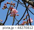 咲き始めた稲毛海岸駅前カワヅザクラ 48270812