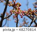 もうすぐ咲く稲毛海岸駅前カワヅザクラ 48270814