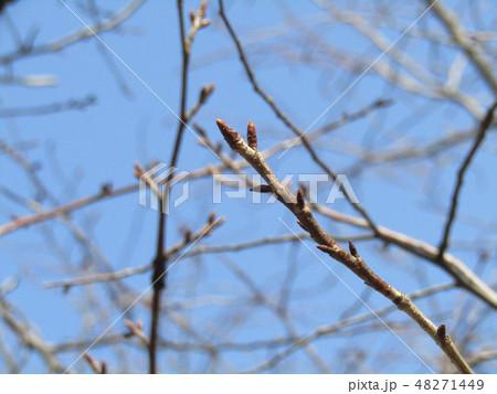大島桜のまだまだ硬い蕾 48271449