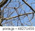 山桜のまだまだ硬い蕾 48271450