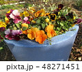 大きい植木鉢に植わった黄色いパンジー 48271451