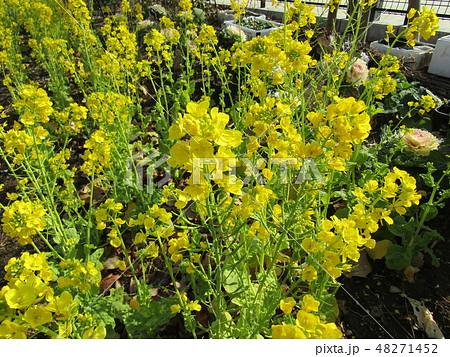 高洲プール横の花畑に黄色い花のナバナが満開 48271452