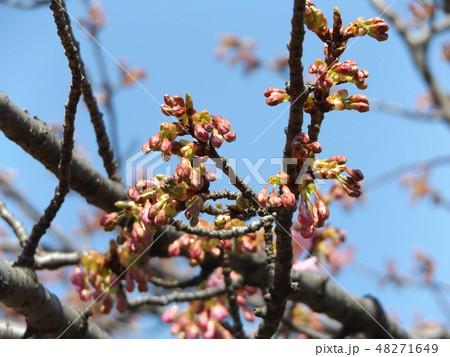 もう直ぐ咲く稲毛海岸駅前の河津桜の蕾 48271649