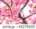 河津桜 植物 花の写真 48276093