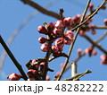 梅の実がたくさんなるだいぶ膨らんだウメの蕾 48282222