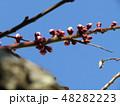 梅の実がたくさんなるだいぶ膨らんだウメの蕾 48282223