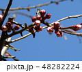 梅の実がたくさんなるだいぶ膨らんだウメの蕾 48282224