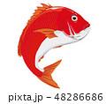 鯛 真鯛 マダイ イラスト 48286686