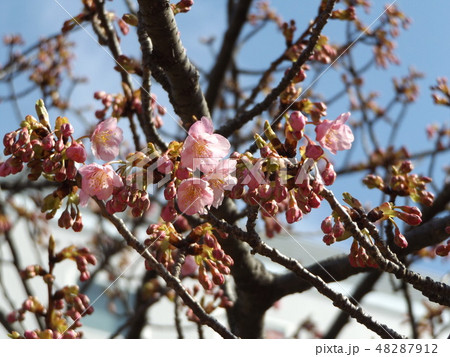 咲き始めた稲毛海岸駅前の河津桜の花 48287912