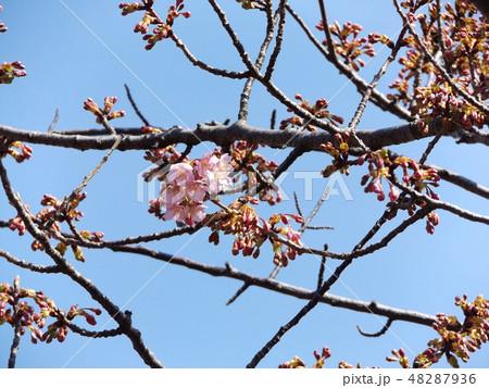 咲き始めた稲毛海岸駅前の河津桜の花 48287936