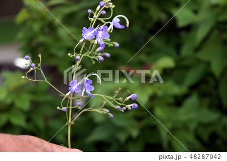カリガネソウ 植物 花の写真 48287942