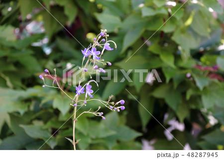 カリガネソウ 植物 花の写真 48287945