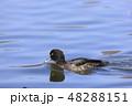 鳥 金黒羽白 池の写真 48288151