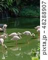 フラミンゴ 48288907