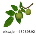 Green walnuts on a branch isolated on white 48289392