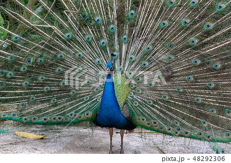 羽を広げた雄の孔雀 48292306