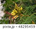 芽 蕾 花の蕾の写真 48295459