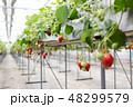 いちご フルーツ 果物の写真 48299579