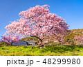 桜 河津桜 春の写真 48299980