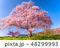桜 河津桜 春の写真 48299993