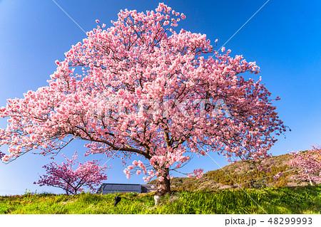 《静岡県》南伊豆町・満開の河津桜 48299993