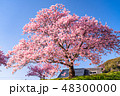 桜 河津桜 春の写真 48300000