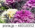 葉牡丹 植物 葉の写真 48310352