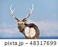 振り向いたエゾシカ(北海道・野付半島) 48317699