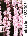 枝垂れ梅 梅 紅梅の写真 48323064