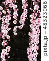 枝垂れ梅 梅 紅梅の写真 48323066