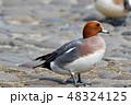 鳥 鴨 野鳥の写真 48324125