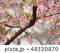 河津桜 春 桜の写真 48330870
