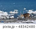 流氷 エゾシカ 冬の写真 48342480