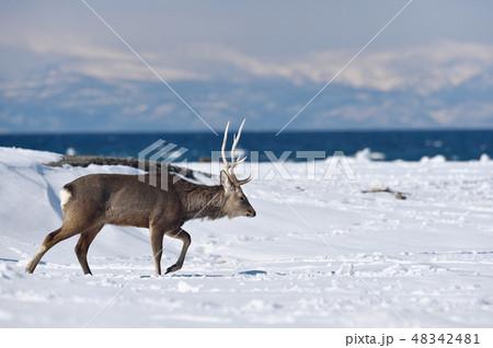 冬の山と海を背景にしたエゾシカ(北海道・野付半島) 48342481