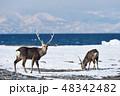 冬の山と海を背景にしたエゾシカ(北海道・野付半島) 48342482