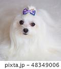 白い犬 48349006