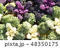 植物 葉 葉牡丹の写真 48350175