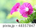 大輪アサガオ 赤色 自然背景 48357847