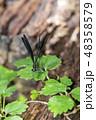 ハグロトンボ 昆虫 虫の写真 48358579