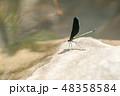 ハグロトンボ 昆虫 虫の写真 48358584