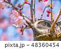 河津桜 ピンク 花の写真 48360454