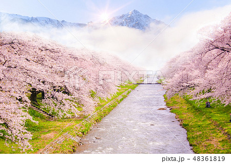 Beautiful cherry blossom or sakura in spring time  48361819